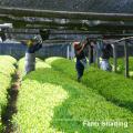 Poudre de thé vert matcha biologique de marque privée