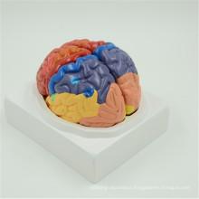 Hot sale high quality brain horizontal section model