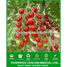 NTT011 Qizi quality round cherry tomato seeds supplier