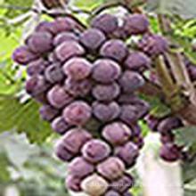 Винограда кожи экстракт