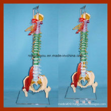 Vivd Comprehensive Presentation of Natural Function of Soft Spine Model