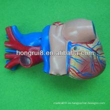ISO Modelo humano del corazón del tamaño de la vida, modelo del corazón del adulto