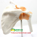 JOINT07 (12354) Medical Anatomy Hospital Use Professional Medical Anatomical Shoulder Models