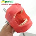 Супер сентябре 12558 стоматологический кабинет Манекен тренажер нержавеющей