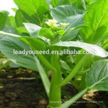 MCS06 Yuan maturité tardive vente chaude choy sum graines pour la plantation
