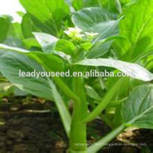 MCS06 Yuan late maturity hot sale choy sum seeds for planting