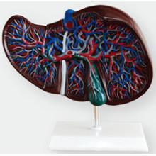 Leber Anatomisches Modell für Bildung