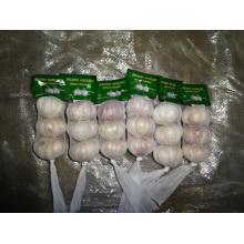 Cultivo de ajo blanco regular fresco 2019