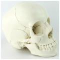 SKULL12 (12392-1) Medical Science 22parts Adult Humans Skull Model