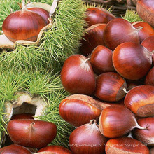 Alta qualidade / preço competitivo Chestnut fresco