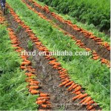 Chinese Shandong origin fresh carrot for export
