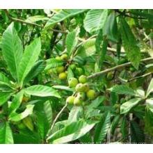 Extrait de feuilles de loquat naturel à 100%