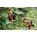 Zl-1046 Anic Blackberry Zl-1046 4