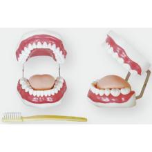 Zahnpflege Modell (28 Zähne)