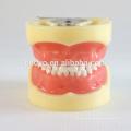 24pcs Removable Teeth Children Standard Dental Model 13003