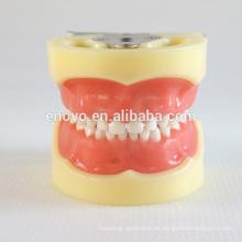 24pcs dientes extraíbles niños modelo dental estándar 13003