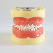 24pcs Removable Teeth Children Standard Dental Model 13003