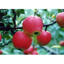 2015 Fresh Qinguan Apple with High Quality