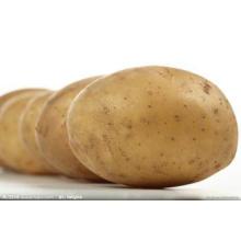 Kartoffel, frische Kartoffel