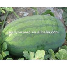 MW031 Kuantiao vert ovale forme hybride graines de pastèque f1 société