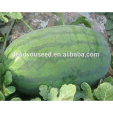 MW031 Kuantiao verde brilhante oval forma híbrida melancia sementes f1 empresa