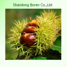 Fresh Sweet Chestnuts 2015 Crop, New Crop