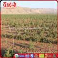 Halal sweets turkey goji berry goji berry extract organic goji berries wholesale