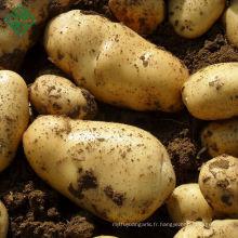 100% Nouvelle récolte bangladaise exportable Pomme de terre fraîche