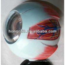 Modelo de globo ocular amplificado ISO, modelo Anatomía de los ojos