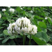 Supply เม็ดสีขาว Clover Touchhealthy Supply