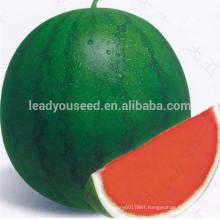 NW11 Chonfu hybrid taste sweet watermelon seeds for sale