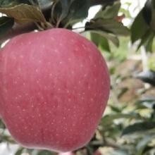 frische westliche rote Stern / Hongxing Äpfel