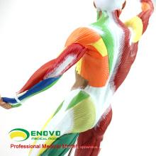 MUSCLE14 (12308) Músculo Humano y Esqueleto Anatomía Modelo Aprendizaje Educación 55cm Alto