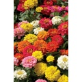 Chinese Beautiful Zinnia Flower Seeds