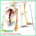 SKELETON07 (12367) Medical Science 85cm Skeleton with Nerves Blood Vessels for School Education