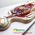 HEART12(12488) крови человека модель образования системы кровообращения с 2-частях Анатомия сердца