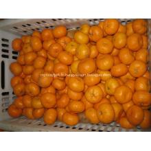 Nanfeng Bébé Mandarin frais