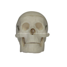 Modèle de crâne en plastique miniature