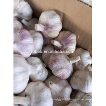 violeta garlic
