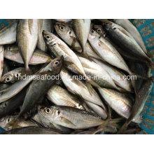 Neue Fischpferde Makrele (14-18cm)
