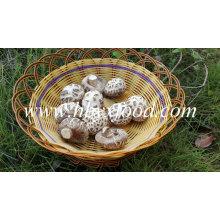 Preço de exportação inteiro do cogumelo de Shiitake da flor vegetal secada
