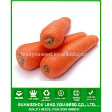 JCA01 Luobo alto rendimento sementes de cenoura de cinco polegadas