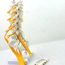 VERTEBRA04 (12387) Medical Science Professional Medical Anatomy Modelo de Vertebra de madera de tamaño natural con Sacro y Coxis