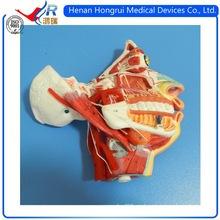 Modelo Facial Avanzado ISO con Vaso y Nervios Sanguíneos