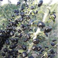 Black Goji Berry Extract Anthocyanin 25%