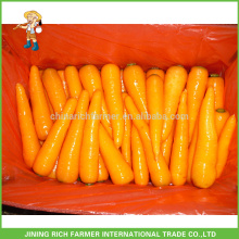 Shandong New Crop Carrot Frais