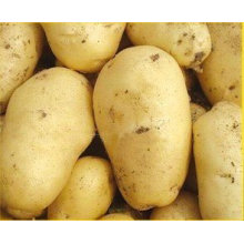 Top Quality Competitive Price Fresh Potato
