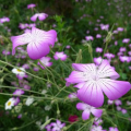Fast growing agrostemma githago L flower seed