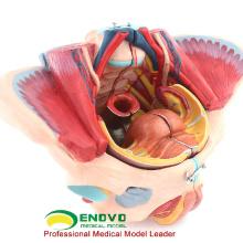 ANATOMY39 (12626) Feminino Pelve Muscle, Life Size Plástico Pelvis Médica Modelos de Anatomia