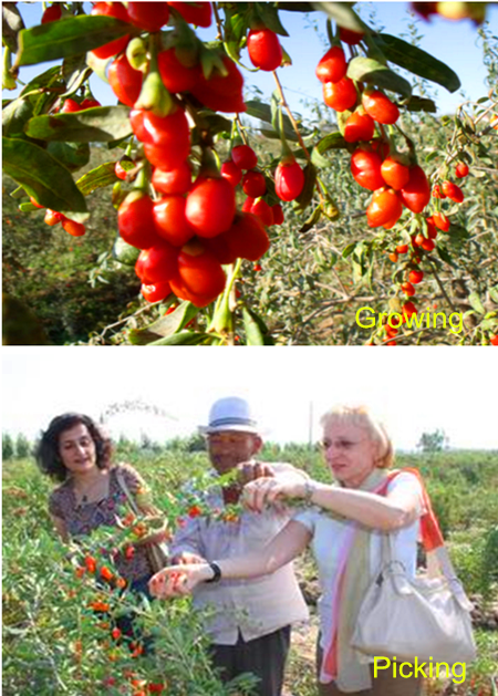 Goji berry picking